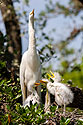 Egret and chicks, St. Augustine Alligator Farm, April 2006.