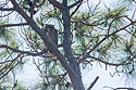 Great Horned Owl watching its nest, Honeymoon Island, Florida, April 2006.