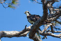 Osprey, Honeymoon Island, Florida, April 2006.