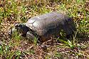 Lots of turtles (or are they tortoises) on Honeymoon Island, Florida, April 2006.