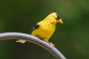 Goldfinch 2006.