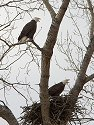 Bald eagles (residents) vocalizing at one of their old nests, Squaw Creek National Wildlife Refuge, Missouri, December 2006.