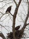 Bald eagles (residents) vocalizing at one of their old nests, Squaw Creek National Wildlife Refuge, Missouri, December 2006.