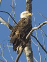 Bald eagle, Squaw Creek National Wildlife Refuge, Missouri, December 2006.