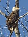 Bald eagle, Squaw Creek National Wildlife Refuge, Missouri, December 2006.