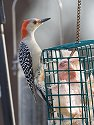 Red-bellied woodpecker at suet feeder, Daniel Webster Wildlife Sanctuary (Mass Audubon), Marshfield, Mass. 2004.