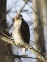 Red-tailed hawk in the woods near my yard, 2006.