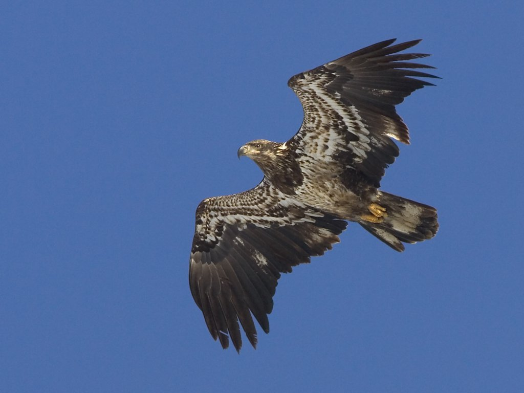 Juvenile bald eagle, Mississippi River, February 2007.  Click for next photo.