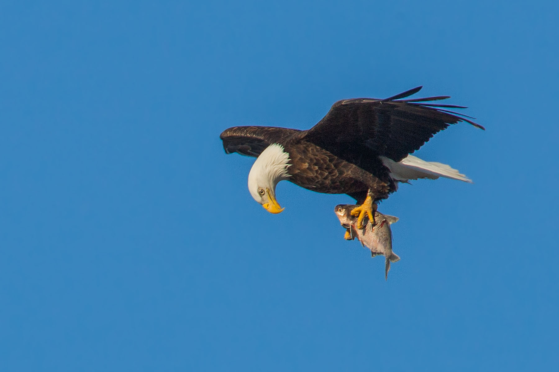 Bald eagle checks out its catch, Mississippi River, February 2007.  Click for next photo.