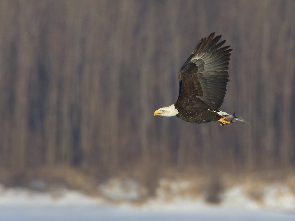 Bald eagle, Mississippi River, February 2007.  Click for next photo.