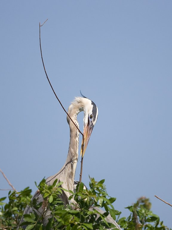 Blue heron builds its nest, Venice, Florida, May 2007.  Click for next photo.