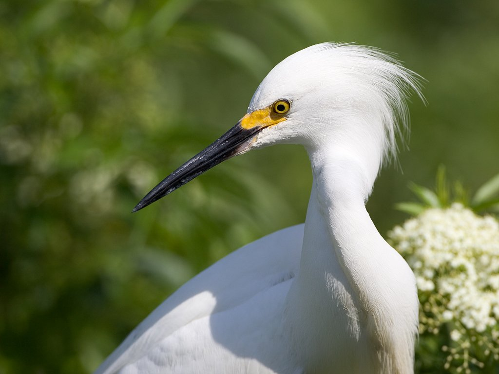 Snowy egret, St. Augustine Alligator Farm, Florida, May 2007.  Click for next photo.