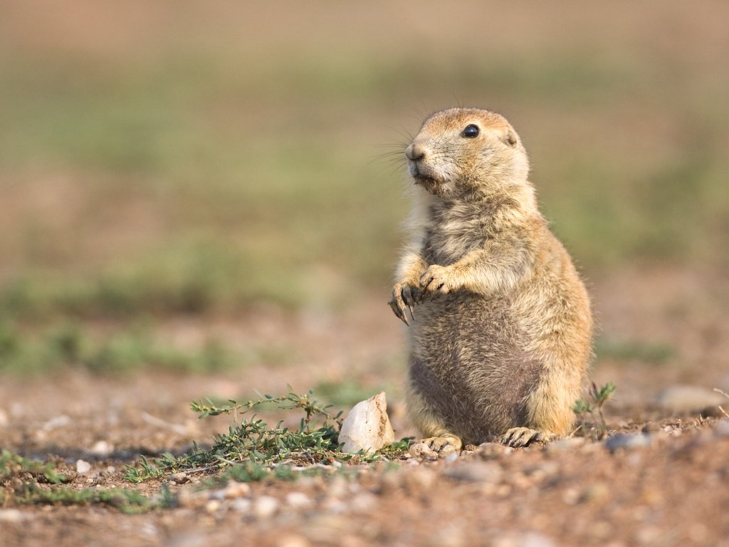 Prairie dog, Wind Cave National Park, 2007.  Click for next photo.