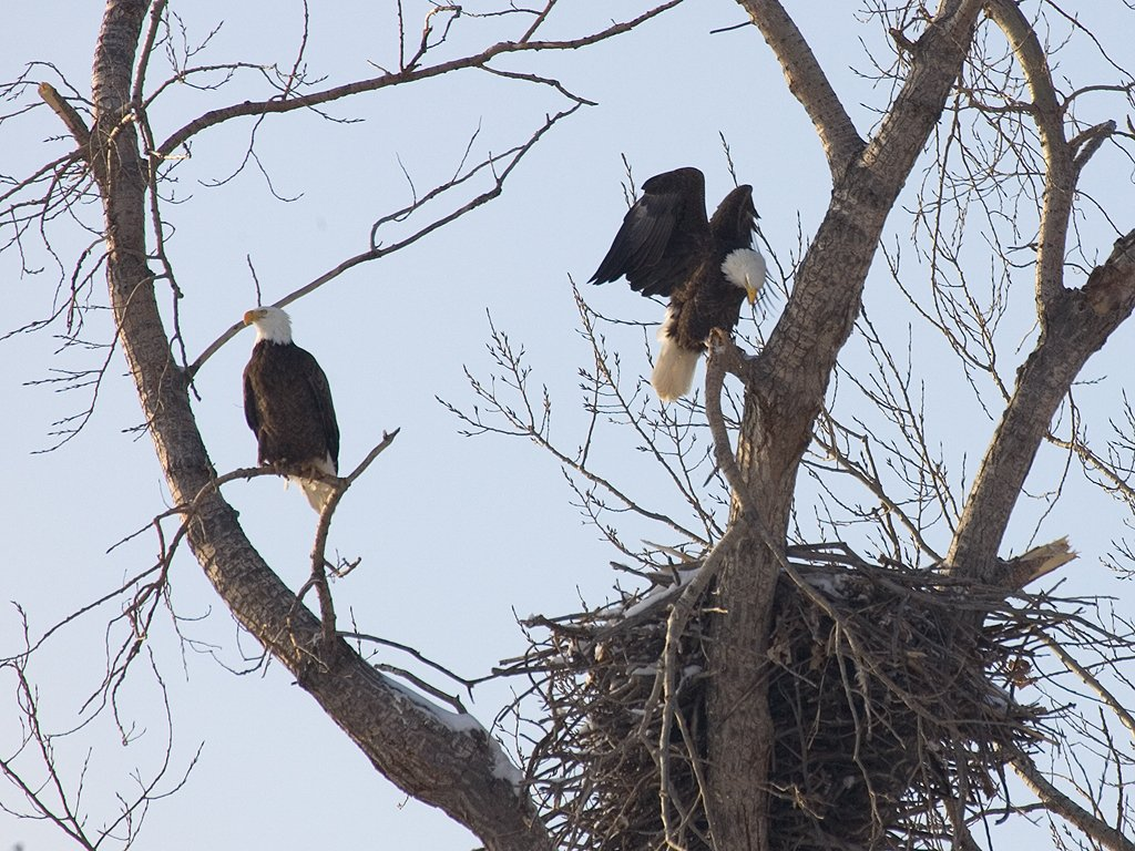 Bald Eagles, Squaw Creek NWR, 2007  Click for next photo.