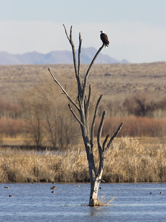 Bald Eagle roosts above the Flight Deck pond, Bosque del Apache NWR, New Mexico, January 2007.  Click for next photo.