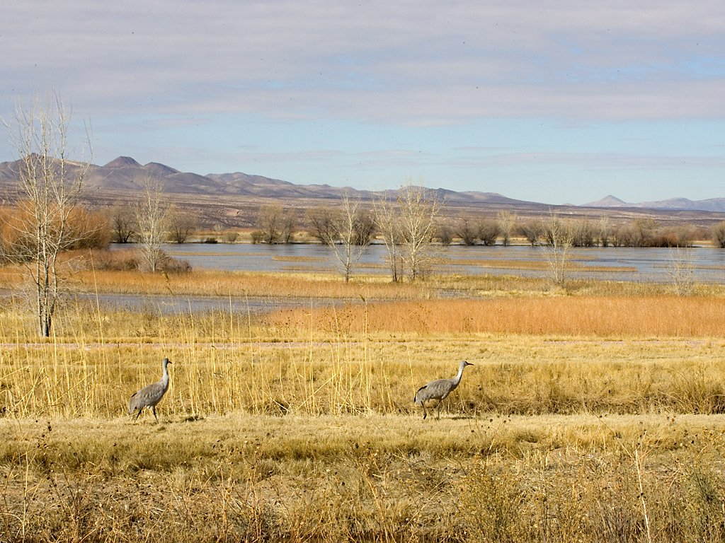 Sandhill cranes, Bosque del Apache NWR, New Mexico, January 2007.  Click for next photo.