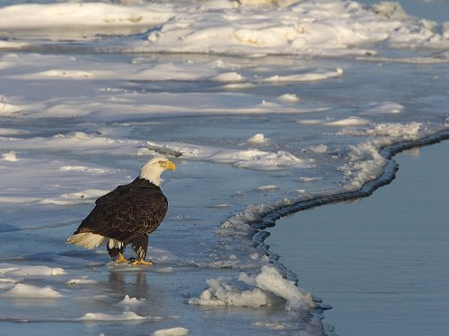 Bald eagle on the Mississippi River ice, February 2007.  Click for next photo.