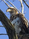 Juvenile bald eagle, Mississippi River, February 2007.