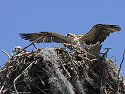 Young osprey tests its wings, Honeymoon Island State Park, Florida, May 2007.