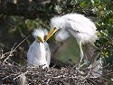 Egret chicks, St. Augustine Alligator Farm, Florida, May 2007.