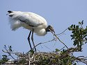 Wood stork, St. Augustine Alligator Farm, Florida, May 2007.