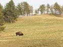 Bison, Custer State Park, 2007.