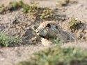 Prairie dog, Wind Cave National Park, 2007.