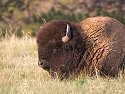Bison snoozing, Custer State Park, 2007.