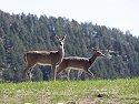 Deer, Custer State Park, 2007.