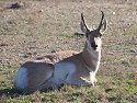 Pronghorn, Custer State Park, South Dakota, 2007.