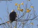 Bald Eagle, Squaw Creek NWR, 2007
