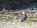 Woodpecker, Bosque del Apache NWR, 2007.
