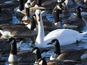 Swan among the geese, Arrowhead Park, Sioux Falls, SD.