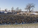 Canada geese (mostly), Arrowhead Park, Sioux Falls, SD, 2007.