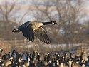 Canada goose, Arrowhead Park, Sioux Falls, SD, 2007.