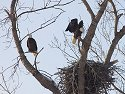 Bald Eagles, Squaw Creek NWR, 2007