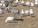 Sandhill cranes and snow goose grazing together, Bosque del Apache NWR, New Mexico, January 2007.
