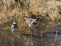 Killdeer along the shore, Bosque del Apache NWR, New Mexico, January 2007.