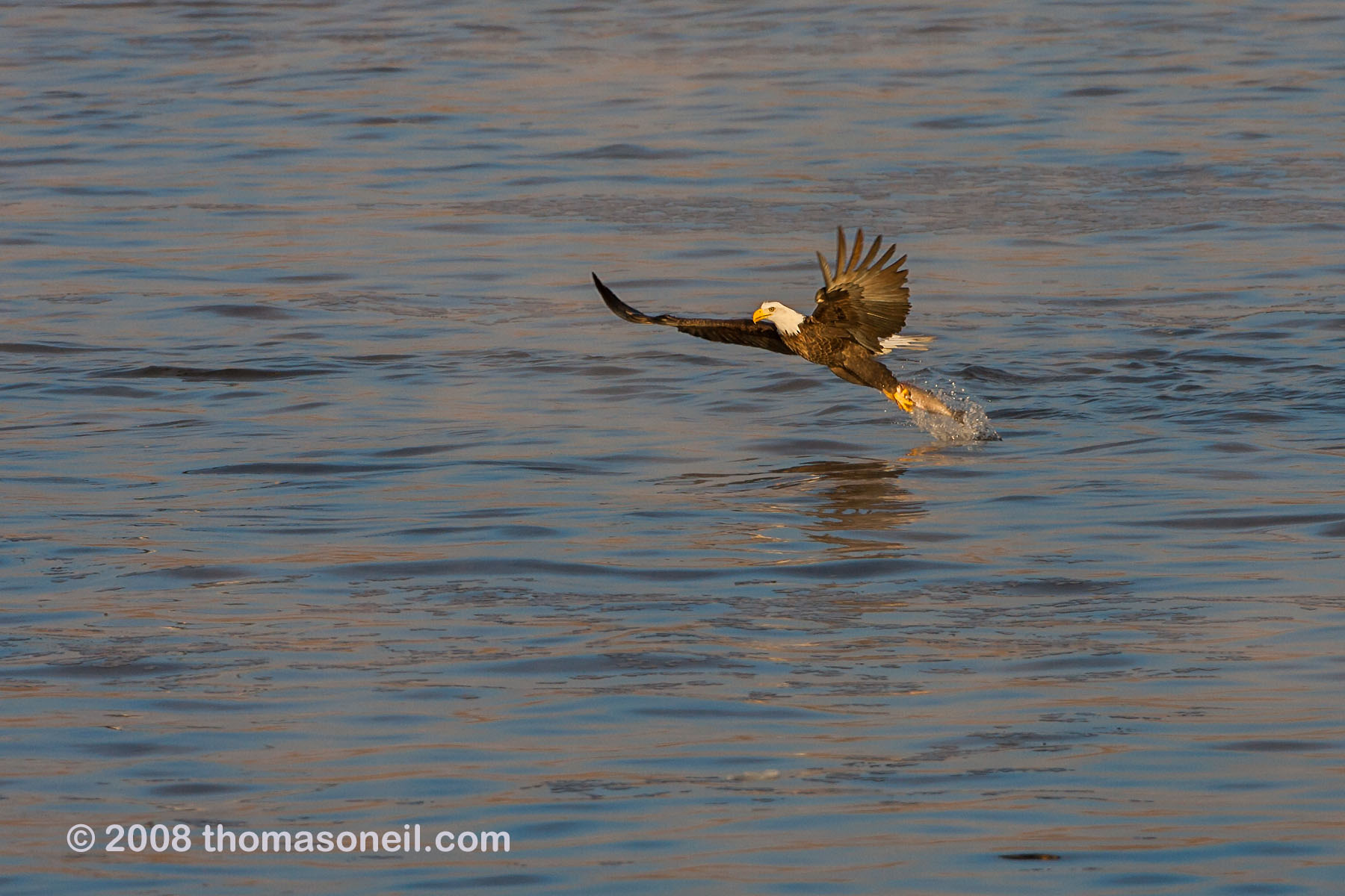Bald eagle yanks a fish out of the Mississippi River, January 2008.  Click for next photo.