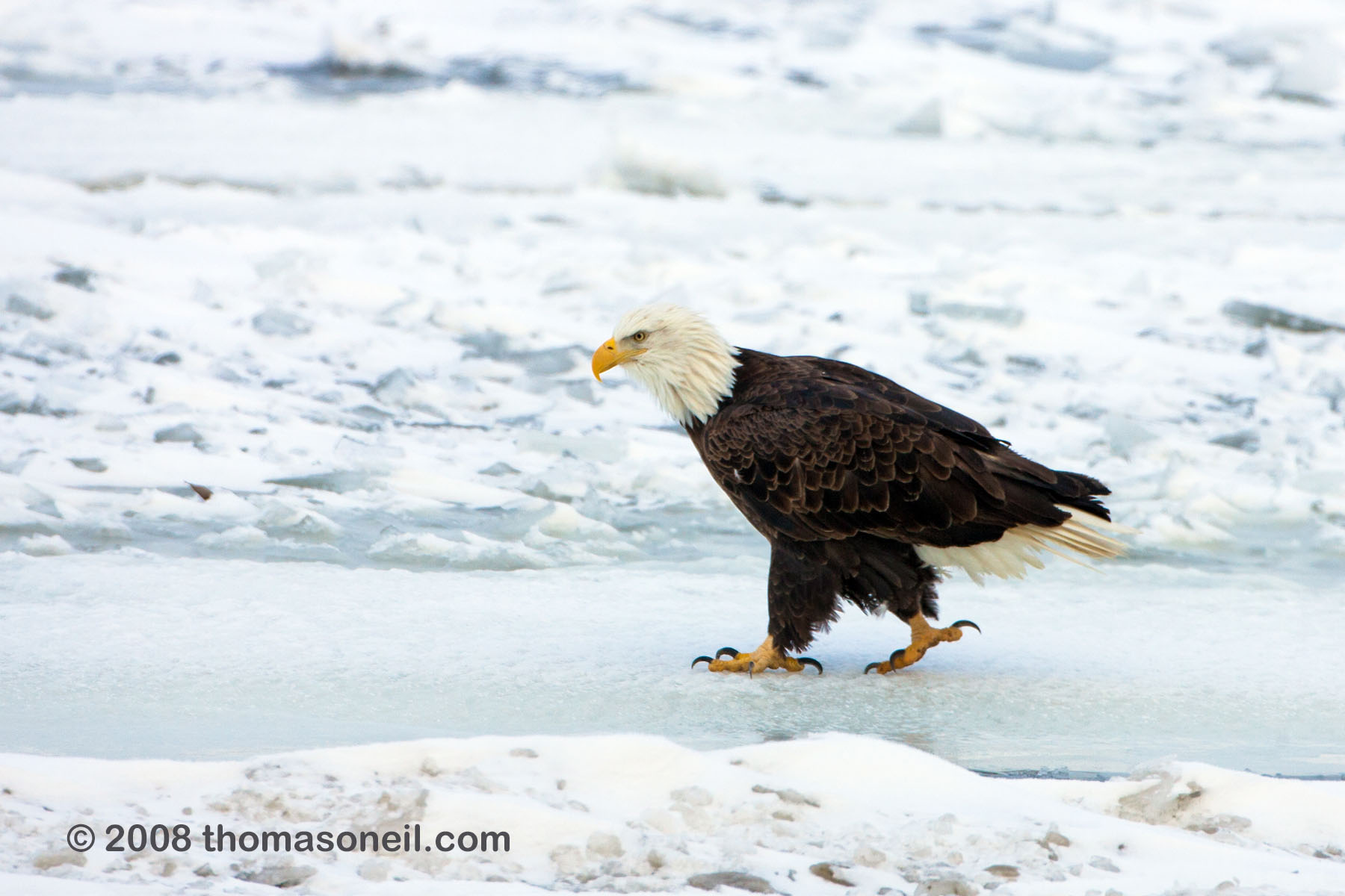 Bald eagle on the frozen Mississippi River, January 2008.  Click for next photo.