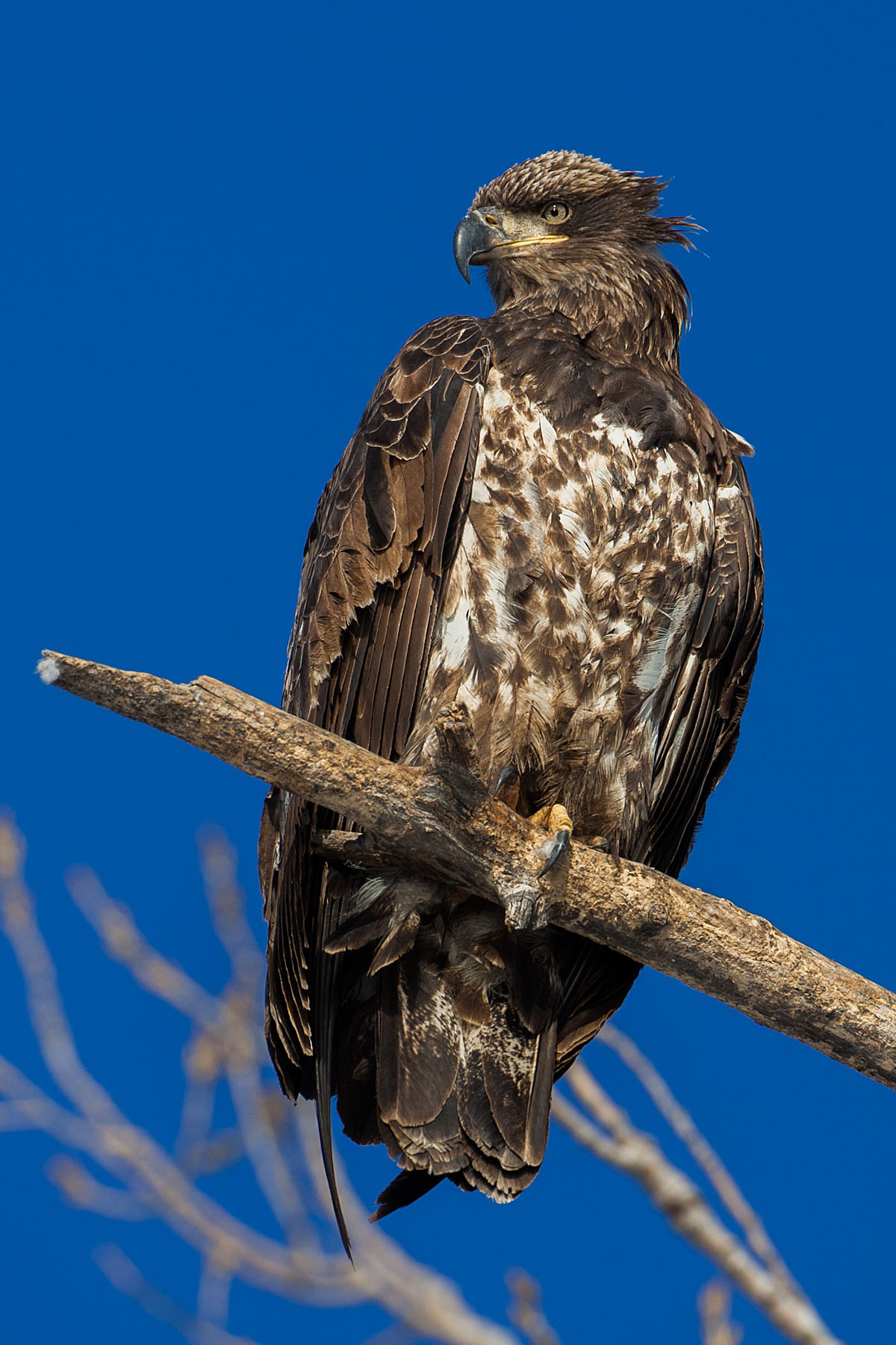 Juvenile bald eagle, Ft. Randall dam, South Dakota, February 2008.  Click for next photo.