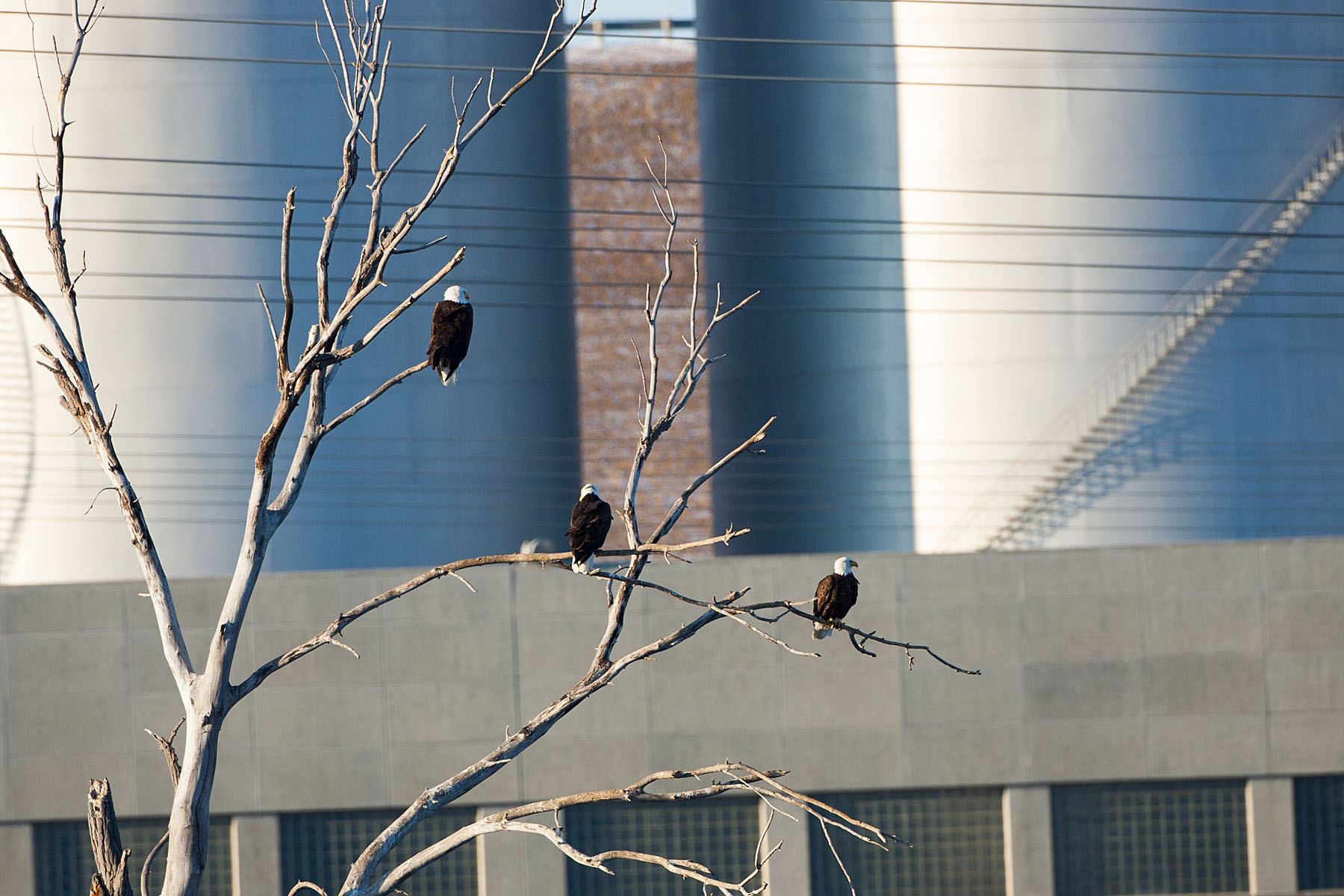 Bald eagles, Ft. Randall dam, South Dakota, February 2008.  Click for next photo.