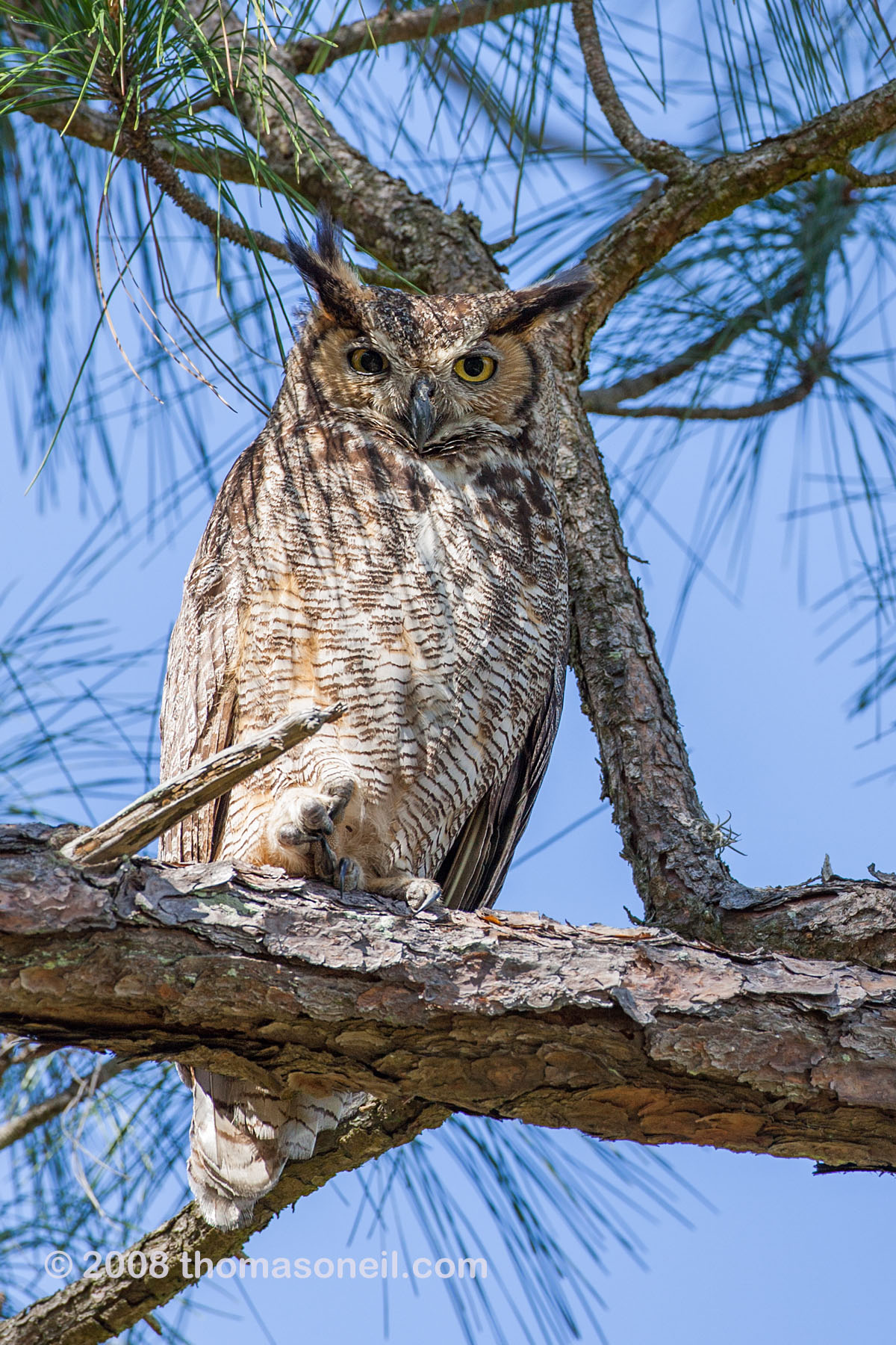 Great Horned Owl, Honeymoon Island State Park, Florida, March 2008.  Click for next photo.