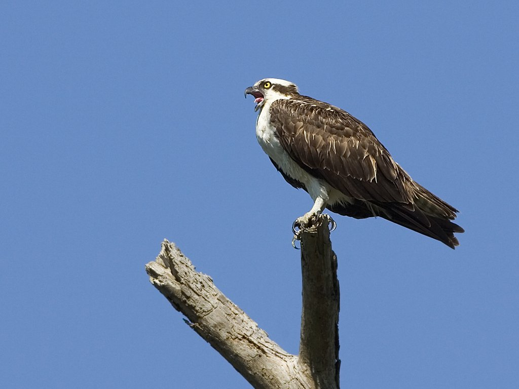 Osprey vocalizing.  Honeymoon Island State Park, Florida, March 2008.  Click for next photo.