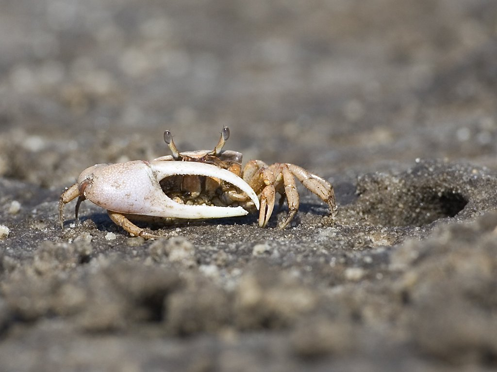 Ghost crab, Lower Suwannee NWR, Florida, March 2008.  Click for next photo.