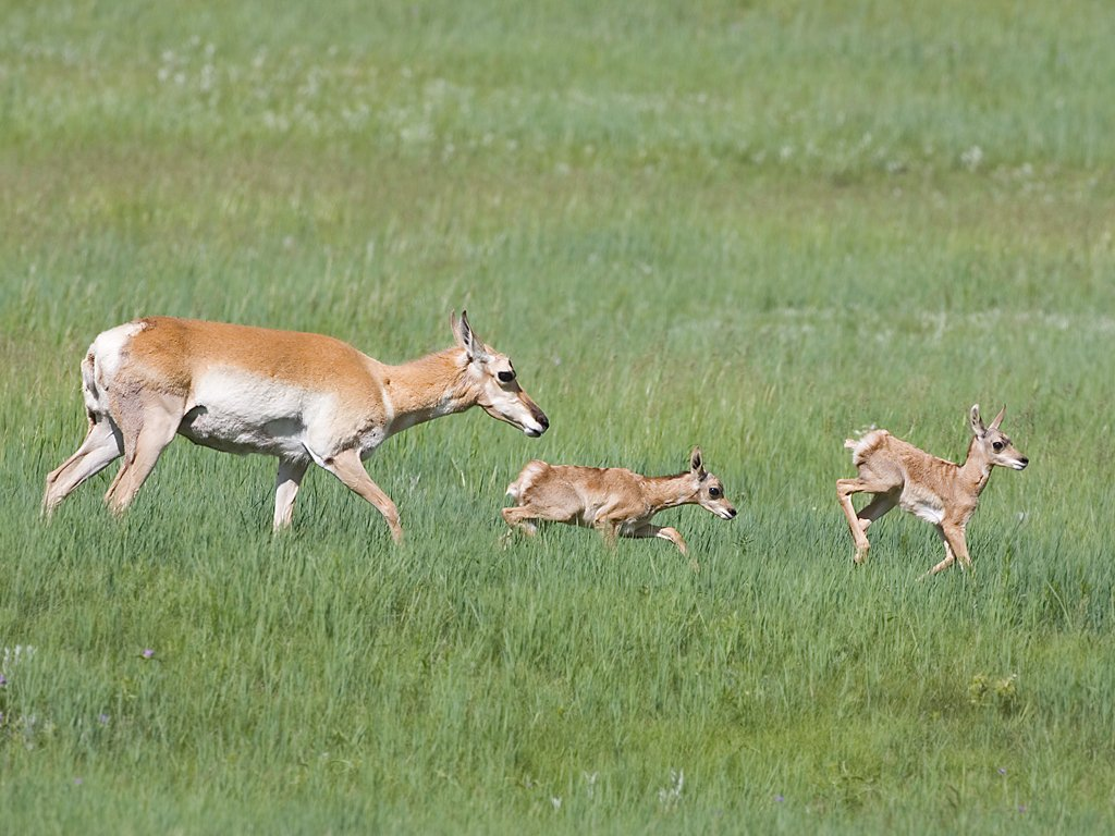 Pronghorn mother and fawns, Custer State Park, South Dakota, June 2008.  Click for next photo.