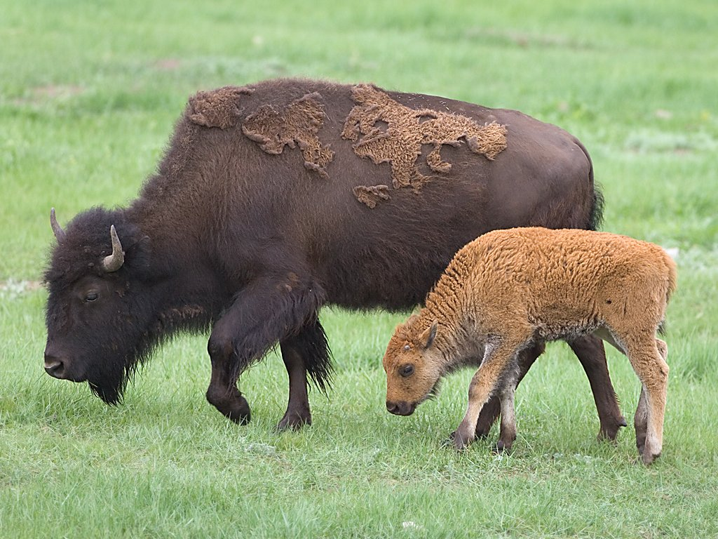 Bison mother and calf, Custer State Park, South Dakota, June 2008.  Click for next photo.