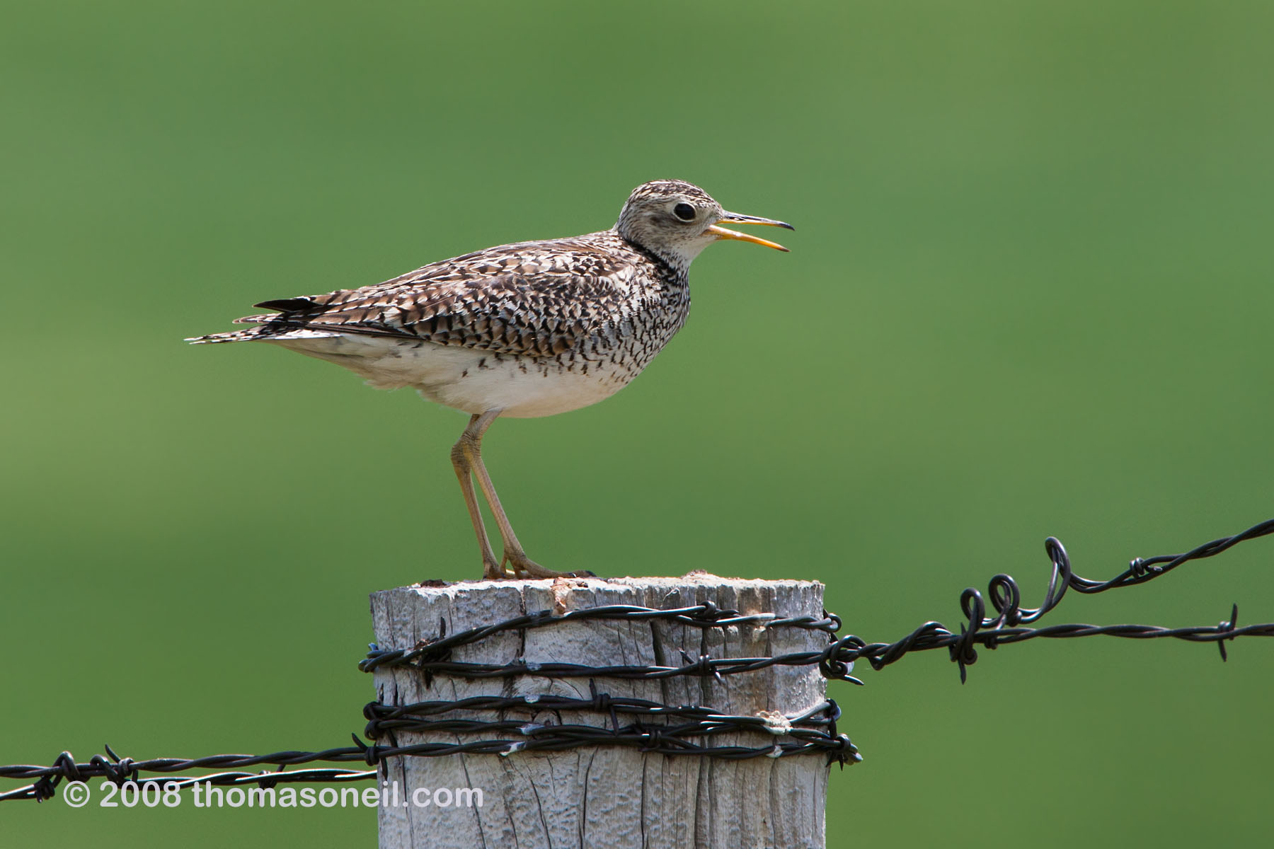 Upland sandpiper somewhere in western South Dakota, June 2008.  Click for next photo.