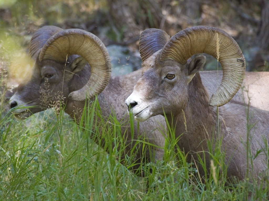 Rocky Mountain Bighorns, Custer State Park, SD, September 2008.  Click for next photo.