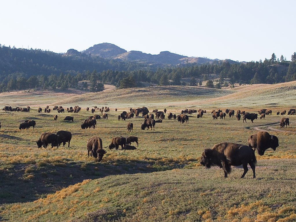 Bison, Custer State Park, SD, September 2008.  Click for next photo.